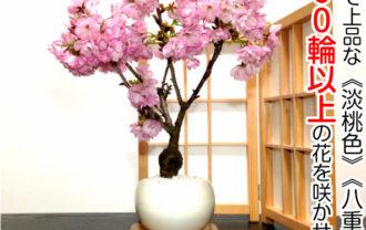 桜ミニ盆栽
