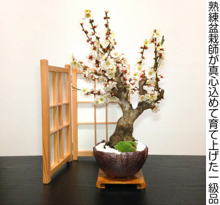 白花梅の盆栽全体像